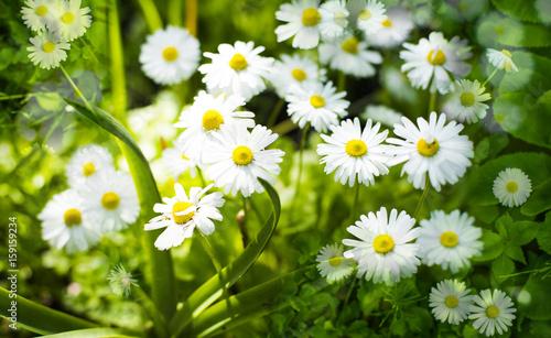 Staande foto Lente Fine garden camomiles