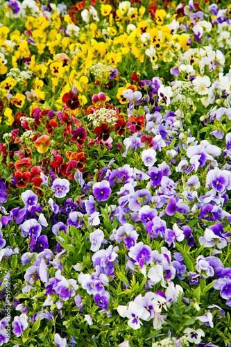 Deurstickers Pansies the flowers and garden