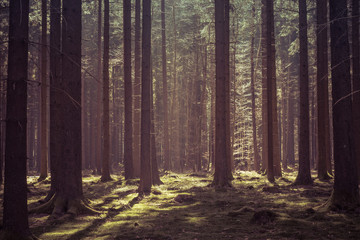 Magical morning sunlight in a deep forest in Baden-Württemberg, Germany.