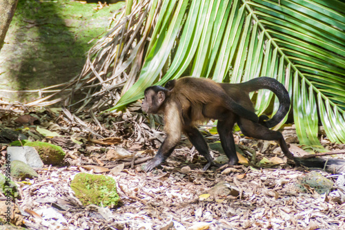 Capuchin monkey at Ile Royale, one of the islands of Iles du Salut (Islands of S Canvas Print
