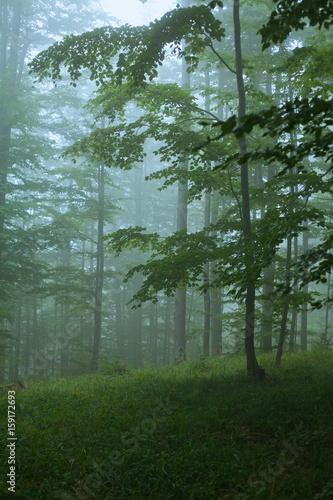 Fototapeta Spooky forest in Bieszczady Mountains in Poland. obraz na płótnie