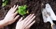 Woman planting saplings in soil