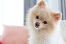Question Face Of Pomeranian Dog