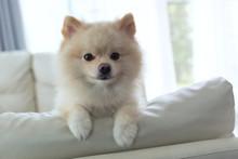Pomeranian Dog Cute Pet Happy ...