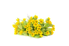 Blooming Primula Veris (common...