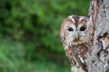 Tawny Owl Looking Out From Beh...