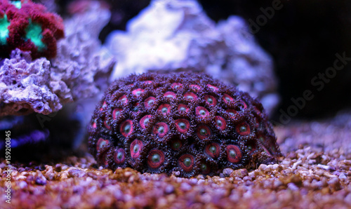 Poster Sous-marin Zoanthus colony polyps