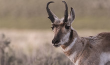 Pronghorn Antelope: Yellowstone