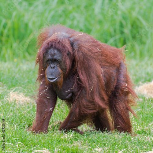 Wall Murals Ostrich Orangutan, dominating male walking on the grass