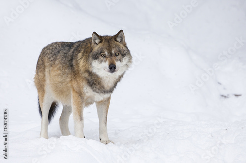 Gray wolf in winter