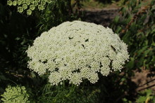 """Toothpickweed"" Flowers And Bu..."