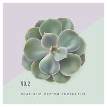 Realistic Vector Illustration Of A Succulent Plant (echeveria), Top View - Great For Desktop Scenes/mockups Or Floristry Themed Cards And Layouts