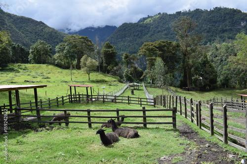 Spoed Foto op Canvas Khaki Llamas en corral
