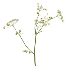Blooming Caraway, Carum Carvi Isolated On White Background
