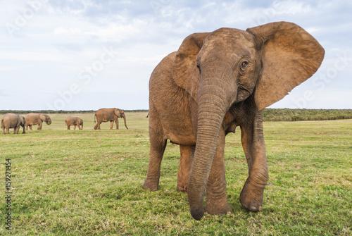 Tuskless African Elephant Cow