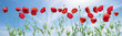 Panorama made of flowering red poppies against the blue sky