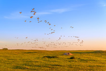 Flock Of Graylag Geese (Anser Anser) Flying Into The Sunset. Sunlight Makes Them Look Almost Orange Against The Blue Sky.