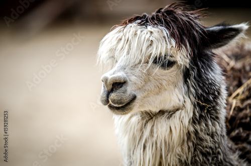 A portrait of a lama with a white fringe hanging on her eyes ..