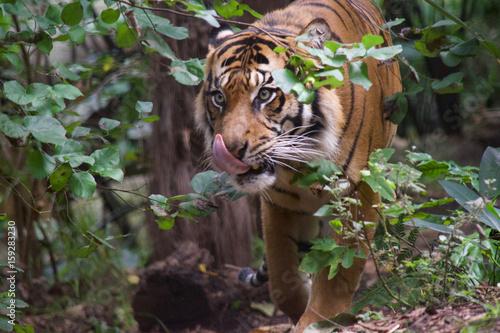 Obrazy na płótnie Canvas Tiger close up 16