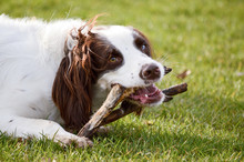 English Springer Spaniel Dog Chewing Stick In Park
