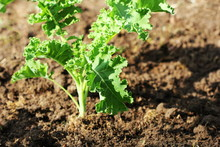 Young Kale Growing In The Vegetable Garden