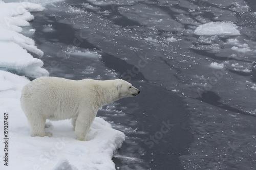 Poster Polar bear Auf der Suche nach den Eisbären