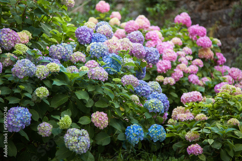 Montage in der Fensternische Hortensie Hydrangea is pink, blue, lilac, violet, purple flowers are blooming in spring and summer at sunset in town garden.