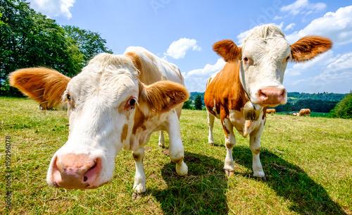 Aluminium Prints Cow cow