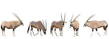 Set Of Five Gemsbok In Different Posing Isolated On White Background, Seen At Namibia, Africa