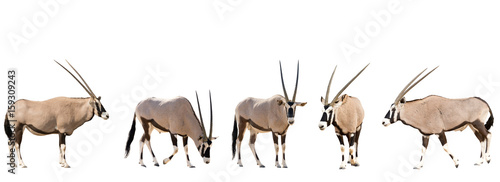Poster Antilope Set of five gemsbok in different posing isolated on white background, seen at namibia, africa