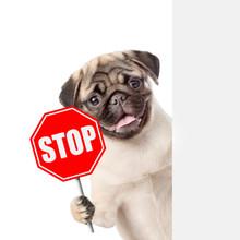 "Dog Peeking With The ""stop"" Si..."