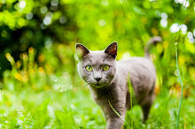 Beautiful Carthusian Cat With Green Eyes And Green Background Walking