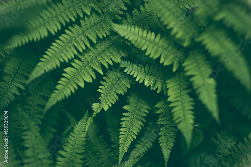 Fresh fern macro image. Horizontal orientation.