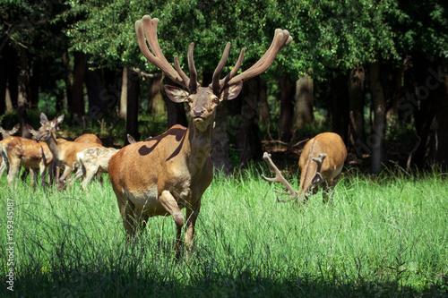 Plakat Grupa czerwoni deers z narastającymi poroże stoi na łąkowej i patrzeje kamerze