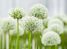 Allium (Mount Everest)