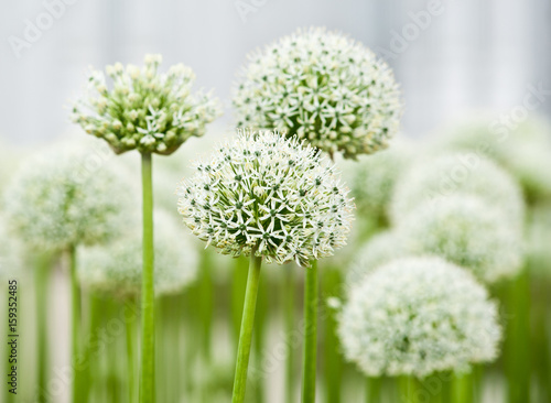 Fotografie, Tablou Allium (Mount Everest)
