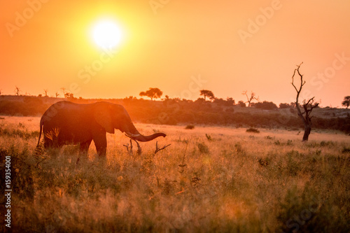 Staande foto Afrika An Elephant walking during the sunset.
