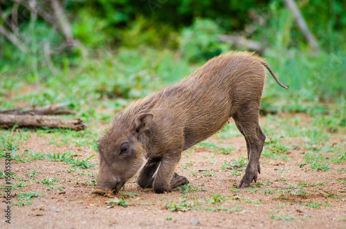 Photo  Common Baby Warthog Feeding