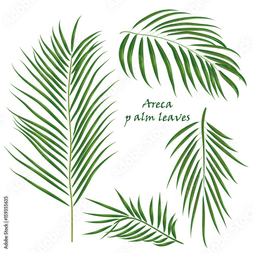 Branch tropical palm areca leaves Canvas Print