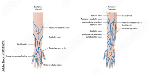 Valokuva  Vein plotting in the arm  illustration vector on white background