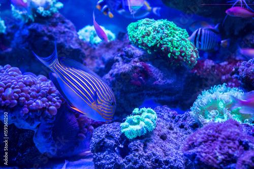 Plakat Tropikalna ryba z koralami i algami w błękitne wody. Piękne tło podwodnego świata