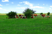 Cows Resting In The Shade