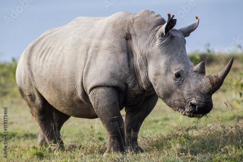 Poster Rhino White Rhino Profile