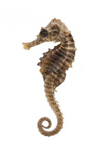 Closeup Of A Sea Horse Swimmin...