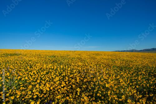 Fototapety, obrazy: Carrizo Plain Wildflowers 2017