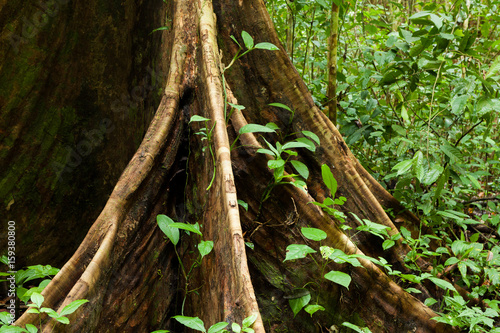 Vászonkép Buttress tree roots in rainforest