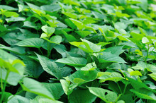 Green Sweet Potato Leaves In G...