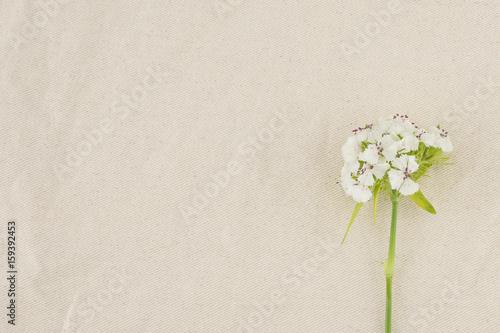 Fotografie, Obraz  White sweet william flowers with copy space
