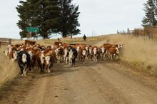 Boys Herding Cattle In Barkley...