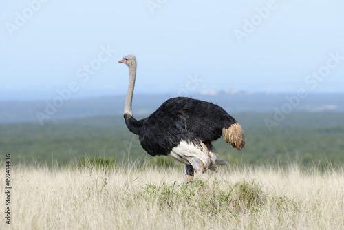 Deurstickers Struisvogel Common Ostridge, Addo Elephant National Park